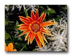 Oldrobel's Fotoreise: Spider on the flower