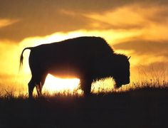 Once almost extinct, the American Buffalo has survived the carelessness of man. I'm thankful for this.
