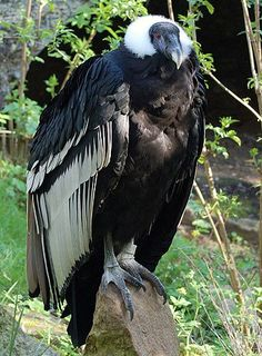 Andean Condor located in South America has a wingspan of 9.5 feet, the largest of any land bird.