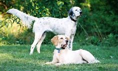 Another Chance for English Setters (ACES) is a national organization of volunteers who willingly give of their time and talents to rescue homeless English Setters.