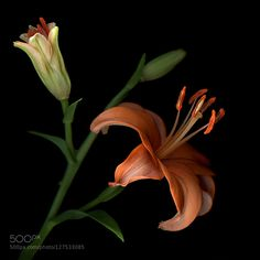 AN ORANGE STATE of MIND... Lilies by magdaindigo #fadighanemmd