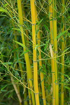 Les bambous, incontournables plantes exotiques