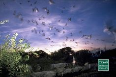 Devils Sinkhole State Natural Area  northeast of Del Rio is home to a large seasonal population of Brazilian free-tailed bats. Bat tours by reservation throughout the summer and early fall.