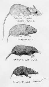 Shrew, mouse or mole? When it comes to nature, we tend to stuff things we don't know into pigeonholes that are already defined by the familiar. If someone tells me their cat has left… Garden Bugs, Garden Insects, Garden Pests, Mole Concept, Household Pests, Small Rabbit, Fire Ants, Animals Of The World, Mammals