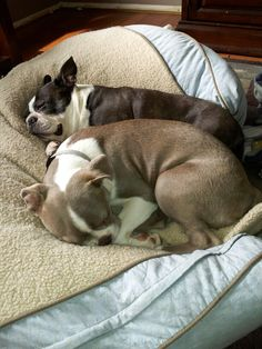 my boys Buster Bodie. Boston Terrier Pug, Terrier Puppies, Cute Puppies, Cute Dogs, Expensive Dogs, Dogs Of The World, French Bulldogs, Bullies, Sunday Morning