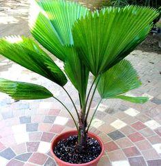 Palmeira Licuala ou Palmeira Leque
