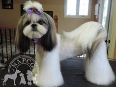 75 Best Shih Tzu Grooming Hairstyles Images On Pinterest Shih Tzus