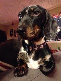 My gorgeous dachshund Harper.