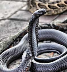 Black neck spitting cobra looks like its literally made of metal Cute Reptiles, Reptiles And Amphibians, Cobra Mamba, King Cobra Snake, Baby King Cobra, Black Mamba Snake, Cobra Tattoo, Badass Pictures, Snake Art