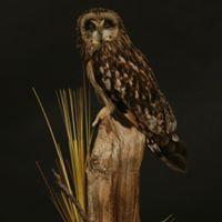 Each base is custom made Taxidermy, Owl, Birds, Base, Animals, Animales, Animaux, Owls, Bird