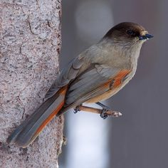 The Siberian Jay.  One of my absolute favorite birds. Such mysterious creatures, seemingly fearless of humans they will come to see if you got food with you. They may even take food from your hand. You will only find them in the oldest coniferous forests that have yet to be affected by forestry. The Siberian Jay are related to the North American Grey Jay.