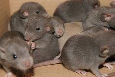 Rat - image