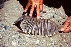 Das Gürteltier existiert bereits seit über 60 Millionen Jahren. Es ist in fast jedem Land Mittel- und Südamerikas beheimatet.