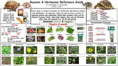 I have seen numerous suggestions for Russian tortoise diet Some great Some awful. Russian Tortoises are nibblers and appreciate broad leaf plants. Horsefield Tortoise, Hermann Tortoise, Tortoise Habitat, Sulcata Tortoise, Tortoise House, Tortoise Enclosure, Turtle Enclosure, Pet Turtle, Turtle Care