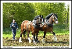 Shire horses pulling a Harrow.jpg | Flickr - Photo Sharing!
