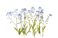 Small Flowers, Dried Flowers, Forget Me Not, Ranunculus, Candle Making, Soap Making, Wedding Decorations, Scrapbooking, Garden