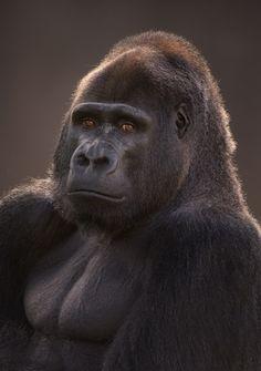 gorila o humano?