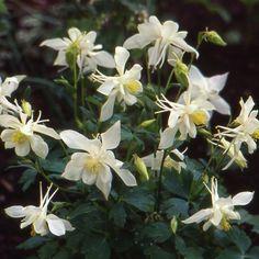 AQUILEGIA 'Kristall' (Ancolie) : Plantes estimées depuis longtemps dans les jardins. Aime les sols légers, humifères. Grandes fleurs blanc pur à longs éperons.