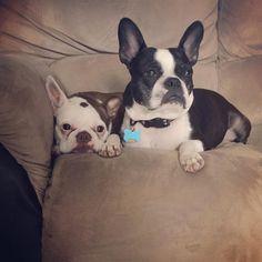 Cuddle crew #wandawylie #bostonterrier #redbostonterrier #normanwylie #frenchton #dogsofinstagram #bostonterriersofinstagram #dogfriends by wandawylie