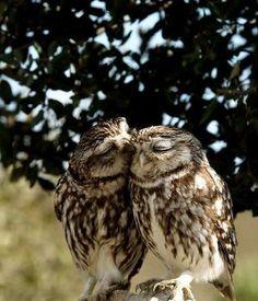 """Owl Couple - He's Wispering """"Sweet Nothings"""" in Her Ear"""