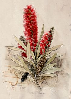 Callistemon Foresterae: Population 3000 by Paul Kalemba. Watercolour and Ink on Cotton Paper, 2011 A loose botanical portrait of the endangered Forester's Callistemon (bottlebrush) in Eastern Victoria. Endemic distribution map and population notes Australian Wildflowers, Australian Native Flowers, Australian Art, Watercolor And Ink, Watercolor Flowers, Watercolor Paintings, Science Illustration, Plant Illustration, Vintage Botanical Prints
