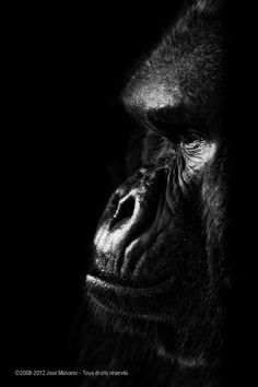 amazing up close photo of a gorilla's face...actually, this should aptly be called a portrait!