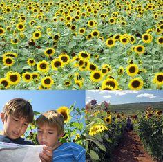 Lyman Orchards Sunflower Maze #Connecticut