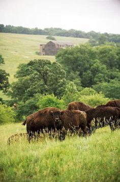 Buffalo grazing at the Circle S Guest Ranch, Lawrence, Kansas.