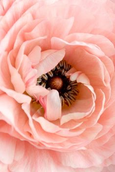 Blush colored peony - is it pink or peach? I'm not sure, but either way, it's lovely!