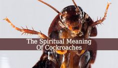 The Spiritual Meaning Of Cockroaches is a very vast topic. But, briefly, they represent survival, responsibility and adaptability. They bring courage, hope.