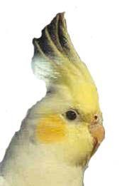 Taming Cockatiel:Guide to Tame Pet Bird