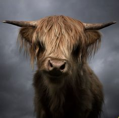 a gorgeous highland cow.  i want one.