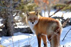101 Unforgettable Things to Do in Hokkaido. A Japanese Red Fox in Hokkaido.