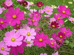 Flower seeds, wildflower seeds, bulk wildflower seed from Flower Art and Soul Cosmos Plant, Cosmos Flowers, Pink Flowers, Flower Background Wallpaper, Flower Backgrounds, Flower Images, Flower Photos, Blossom Flower, Flower Art