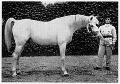 Hungarian part-bred Arabian. Many of these look like the finest Kuhaylan desert horses.