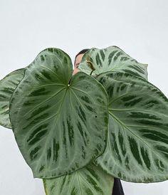 Begonia, Indoor Garden, Indoor Plants, Caladium Garden, Variegated Plants, Plant Painting, Night Garden, Rare Plants, Gardening