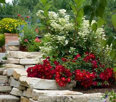 Flower Carpet Roses are bred to be disease resistant, low maintenance and provide months of flowers.