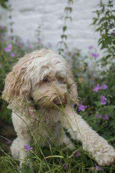 Molly Dog Days, Dogs, Animals, Animales, Animaux, Pet Dogs, Doggies, Animal, Animais