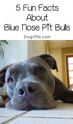 Thinking about getting a pit but not sure which one to get? Check out 5 fun blue nose pit bull facts to inspire you!