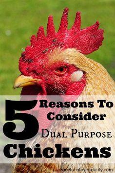 5 Reasons To Consider Dual Purpose Chickens | areturntosimplicity.com