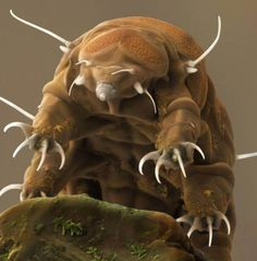 Science Image of Water Bear or Tardigrade from PS MicroGraphs. Specialists in Science Images. Ocean Creatures, Weird Creatures, Atelier Theme, Tardigrade, Microscopic Photography, Science Images, Micro Photography, Macro And Micro, Fauna