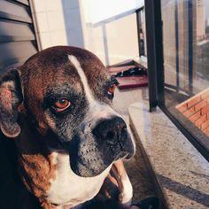 hoje acordei com uma saudade da minha gordinha  #dog #boxersofinstagram #love #dogsofinsta #boxer #goodmorning