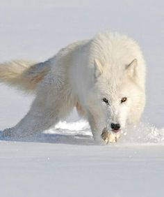 She was THE most BEAUTIFUL WHITE WOLF.
