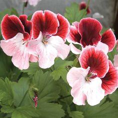 Geranium 'Gardener's Joy' (Pelargonium hybrid)