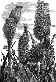 Geri Waddington. Red Hot Pokers. (wood engraving)