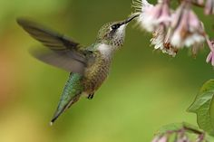 The ruby-throated hummingbird is a bird of wonder and amazement. They are the only hummingbird found in wisconsin and every year between the middle of May to the beginning of October can be found in the northwoods.   Learn more about the birds of Vilas county at http://townofphelps.com/recreation/birding