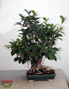 (a):Chinese banyan - Ficus microcarpa - Moraceae - 30 years old C20080902 085