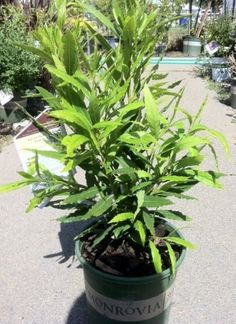Growing Bay Laurel~ How to care for your Bay tree Just bought one--hopefully, I won't ever have to purchase bay leaves again!