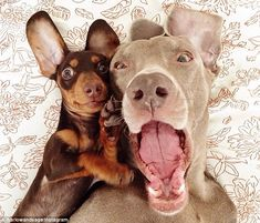 Doggies: Indiana the Dachshund and Harlow the Weimaraner are the new best friends taking Instagram by storm