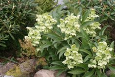 corsican hellebore. Or Hybrid with 'Ivory Prince'. White/ yelllow flowers, contrast with variegated bush and/ or camellia.